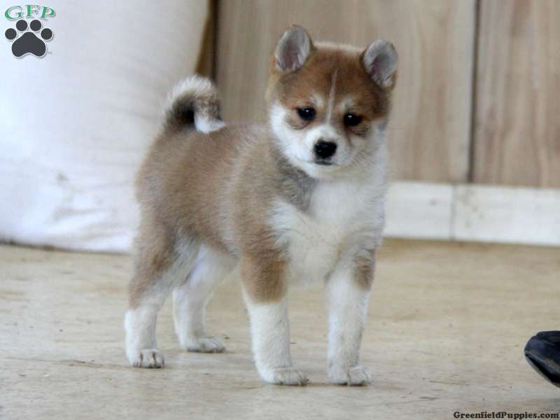 Shiba Ranian Puppies For Sale Greenfield Puppies