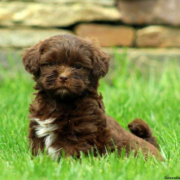 Shih Poo Puppies For