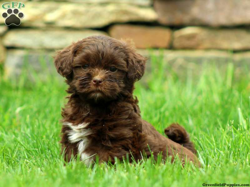 Shih Poo Puppies For Sale Shih Poo Breed Info Greenfield