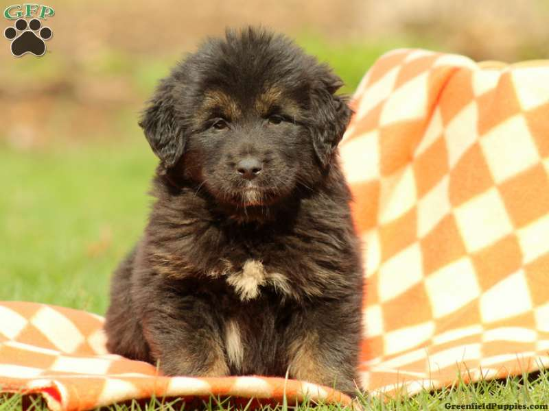 Tibetan Mastiff Puppies for Sale | Greenfield Puppies