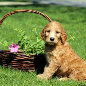 doodle puppy whinnie $ 1075 00 pennsylvania irish doodle puppy