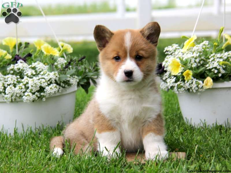 Pembroke Welsh Corgi Puppies For Sale Greenfield Puppies