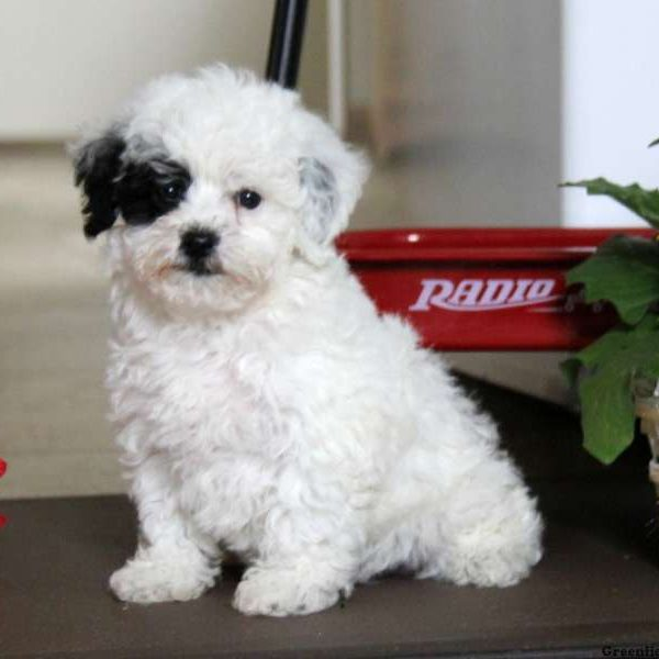 Maltese Mix Puppy