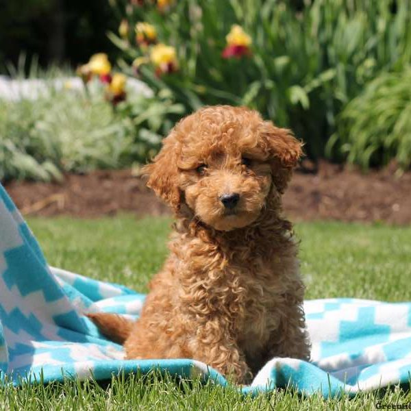 Mini Whoodle Puppies For Sale | Greenfield Puppies