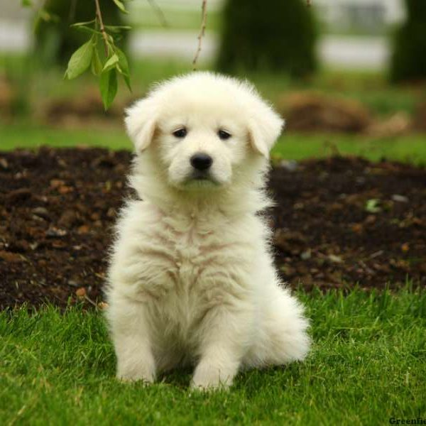Maremma Sheepdog Mix Puppy