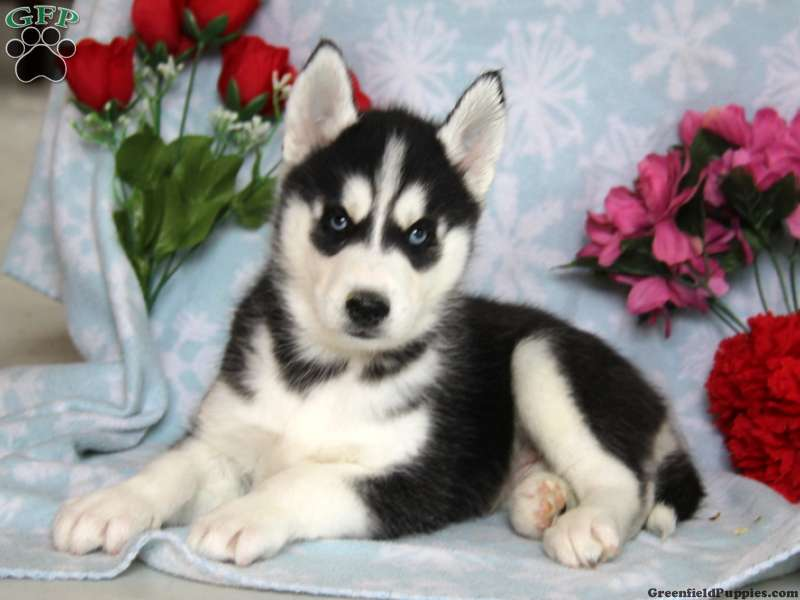 Siberian Husky Puppies For Sale | Greenfield Puppies
