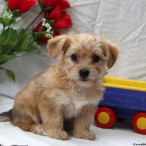 yorkie chon for sale yorkie chon puppies for sale in de md ny nj philly dc and 2635