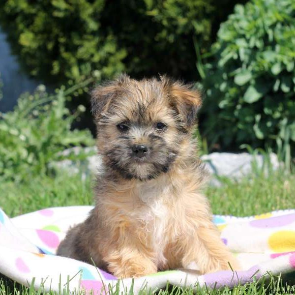 Lhasa Apso Mix Puppy