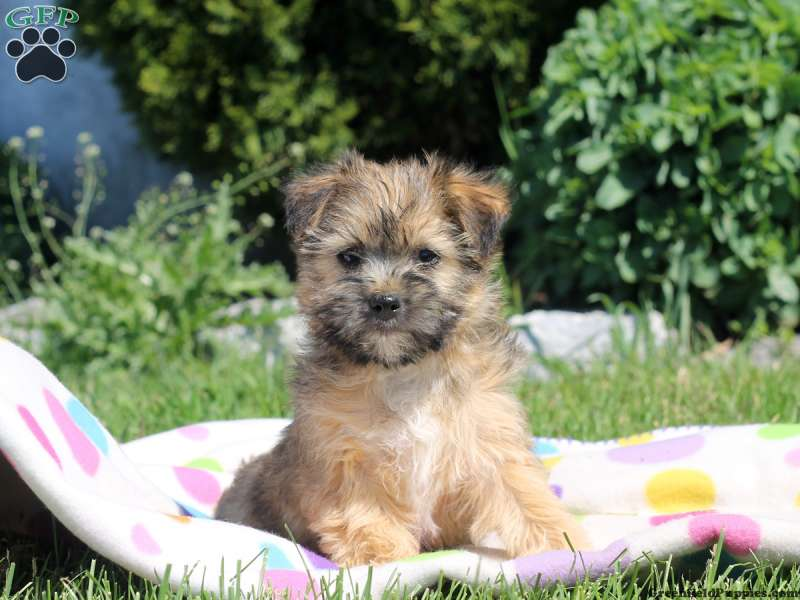 Lhasa Apso Mix Puppies For