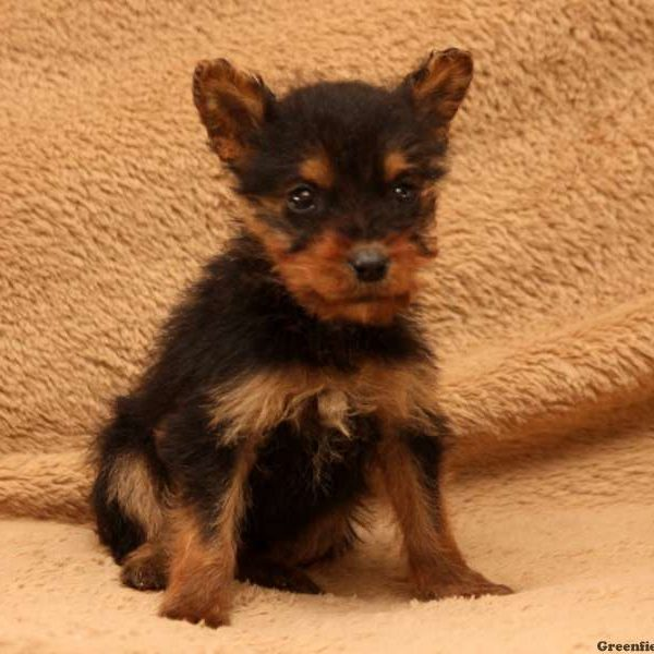 Willow, Airedale Terrier Puppy