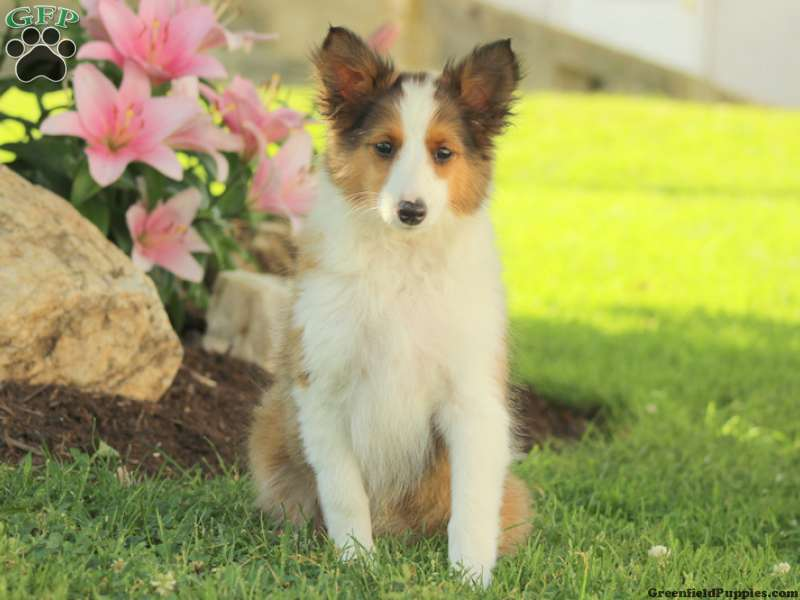 Sheltie Puppies For Sale Shetland Sheepdog Greenfield Puppies