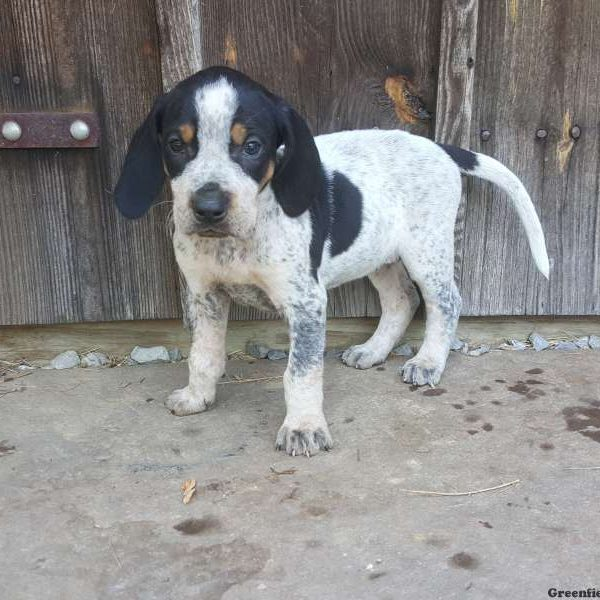 Bristol, Bluetick Coonhound Puppy