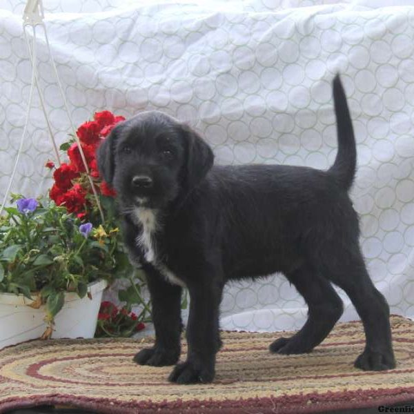Dillon - Soft Coated Wheaten Terrier Mix Puppy For Sale in ...