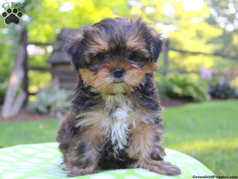 Shorkie Puppies For Sale Shorkie Dog Breed Info Greenfield Puppies