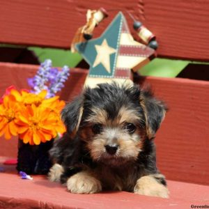 yorkie chon for sale yorkie chon puppies for sale in de md ny nj philly dc and 4012