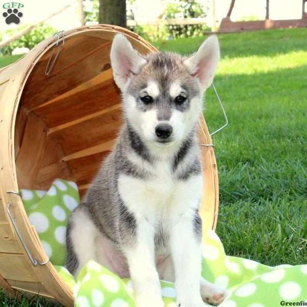 Siberian Husky Mix Puppies For Sale | Greenfield Puppies