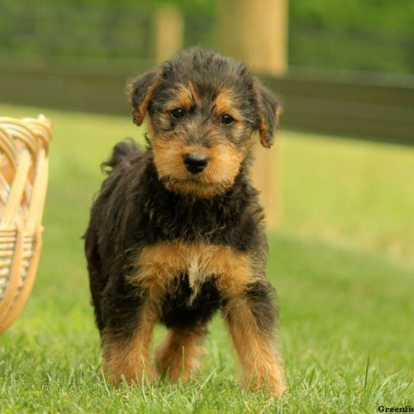 Airedale Terrier Puppies for Sale  Airedale Terrier Info  Greenfield Puppies