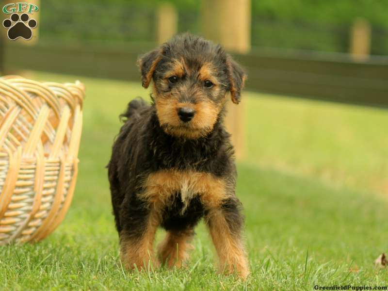 Airedale Terrier puppies for sale Airedale Terrier dogs for adoption and Airedale Terrier dog breeders Find the perfect Airedale Terrier puppy at PuppyFindcom