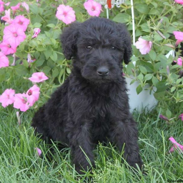 Airedoodle Puppy