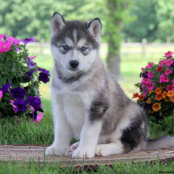 Alaskan Malamute Mix Puppies For Sale in PA | Greenfield ...