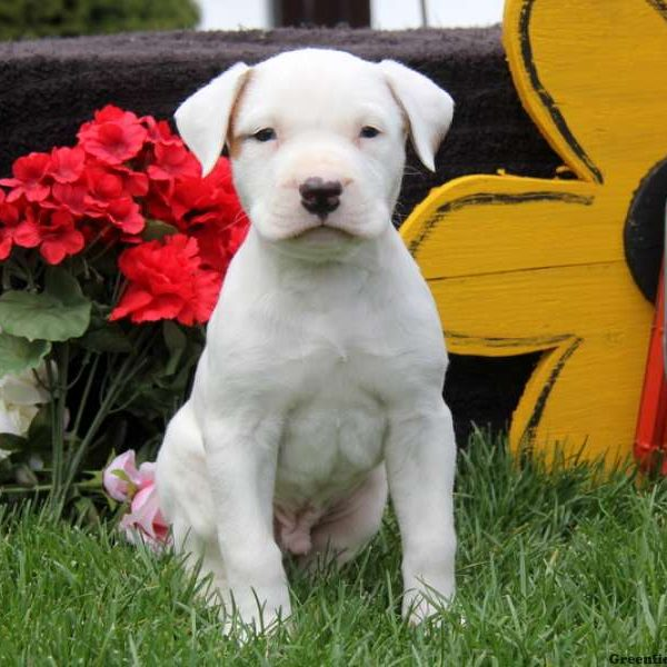 american bulldog breeder american bulldog puppies for sale greenfield puppies 6162