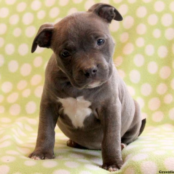 American Bully Puppies For Sale | Greenfield Puppies