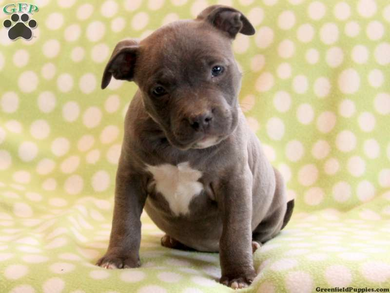 american bully puppies for sale - 600×600