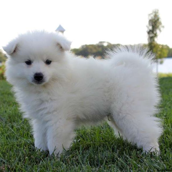 Toy American Eskimo Breeders – Wow Blog