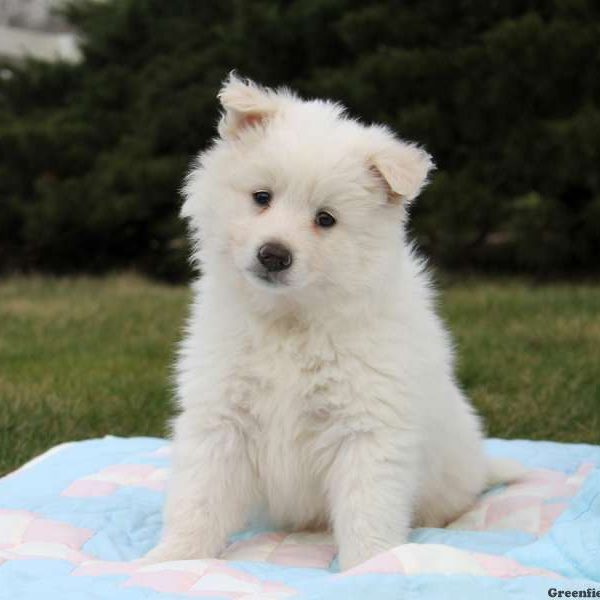 American Eskimo Mix Puppy