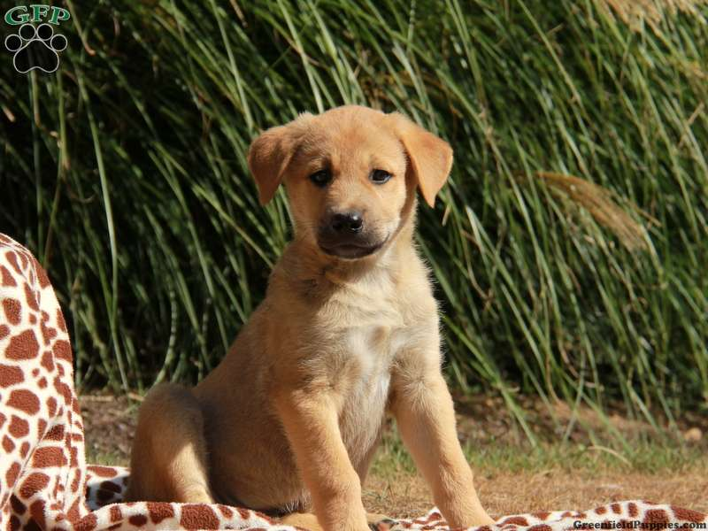 Anatolian Shepherd Puppies For Sale Greenfield Puppies