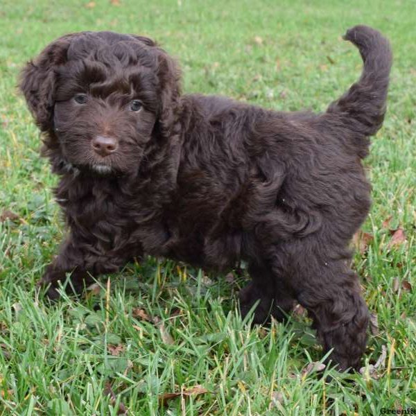 Aussiedoodle Puppies For Sale | Greenfield Puppies
