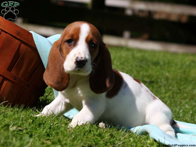 Bet Hound Puppies For