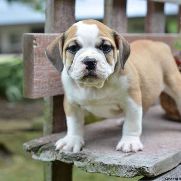 Beabull Puppies For Sale Beabull Breed Profile Greenfield Puppies