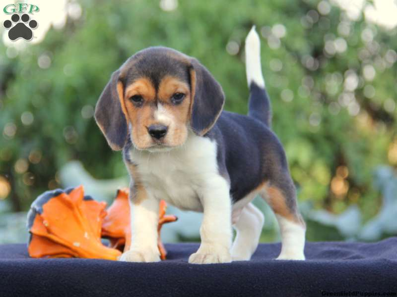 Beagle Puppies For Sale Beagle Breed Profile Greenfield Puppies