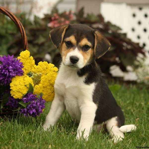 Beagle Mix Puppies For Sale Beagle Mix Breed Info Greenfield Puppies