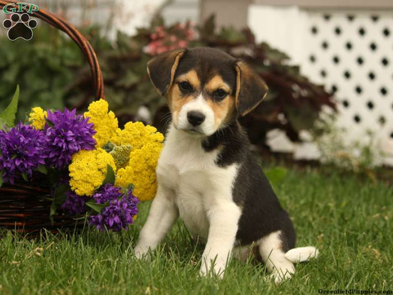 beagle mix puppies for sale beagle mix breed info