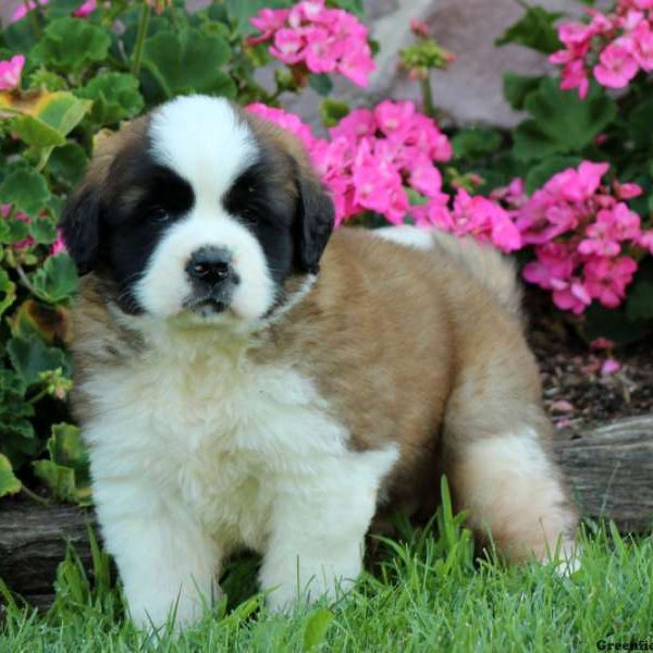 Saint Bernard Puppy