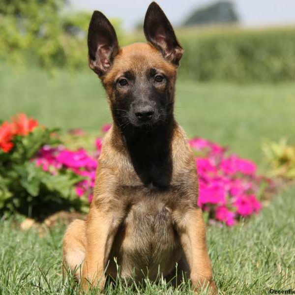Belgian Malinois Puppies for Sale | Greenfield Puppies