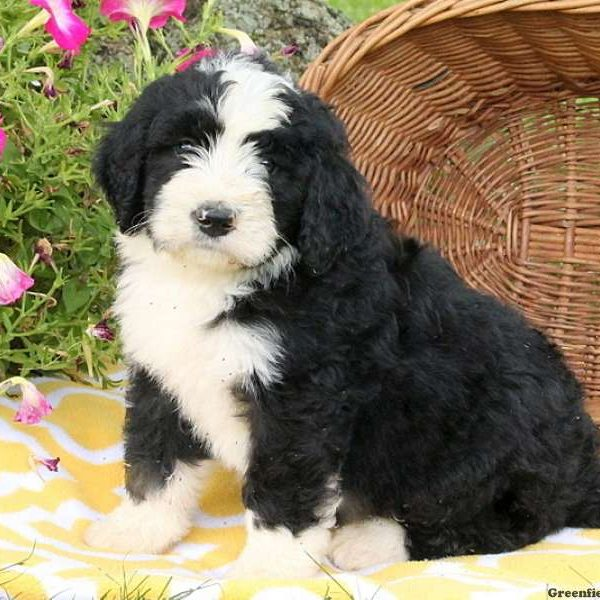 Bernedoodle Puppies For Sale Greenfield Puppies
