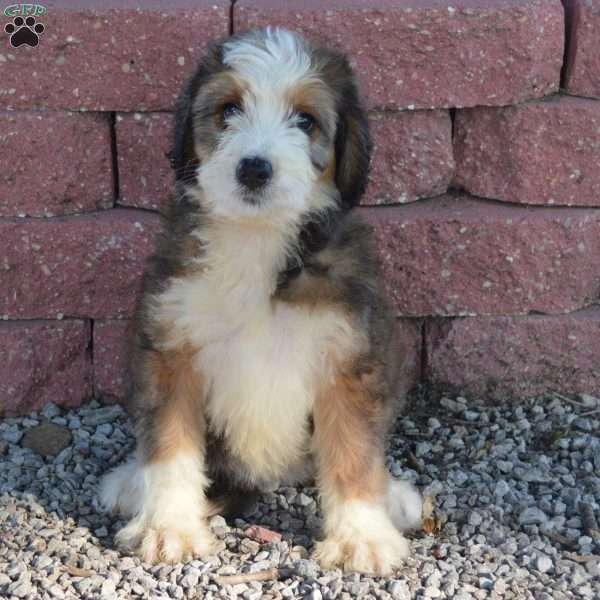 Java bernedoodle puppy for sale in arthur il