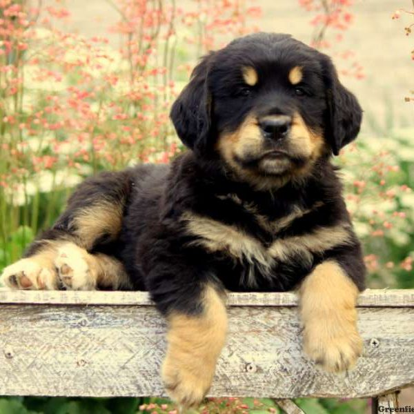 Bernese Golden Mountain Dog Puppy