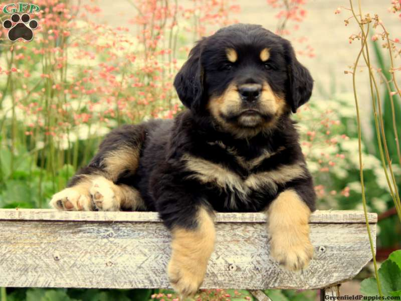 Bernese Golden Mountain Dog Puppies For Sale Greenfield