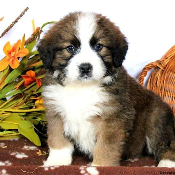 Bernese Mountain Dog Mix Puppy