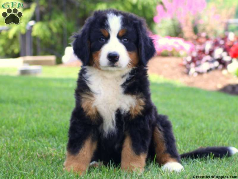 Bernese Mountain Dog Puppies For Sale Greenfield Puppies