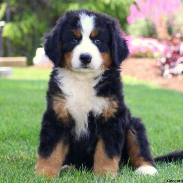 bernese mountain dog puppies for sale greenfield puppies. Black Bedroom Furniture Sets. Home Design Ideas