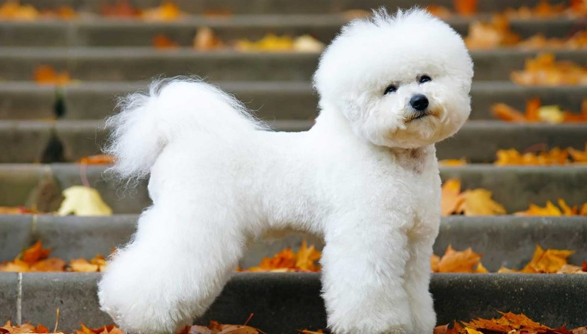 Bichon Frise Puppies For Sale | Greenfield Puppies