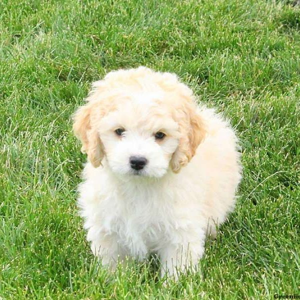 Bichon Mix Puppies For Sale - Bichon Mix Breed Info