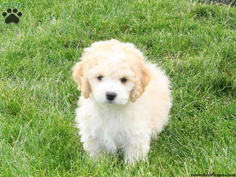 Bichon Mix Puppies For Sale Bichon Mix Breed Info