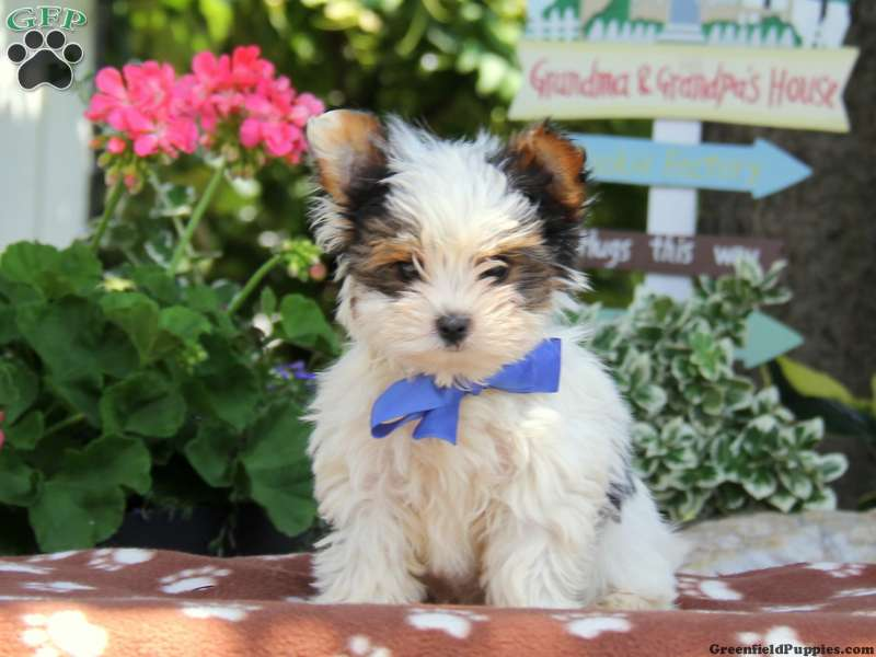 Biewer Terrier Puppies For Sale Greenfield Puppies