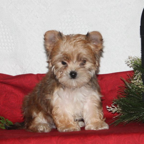 Yorkie Chon Puppies For Sale Greenfield Puppies